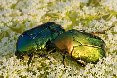 Scarab Beetle (Protaetia aeruginosa) pair, Hungary  -  John van den Heuvel/ Buiten-beel