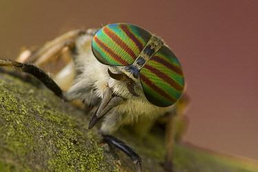 Horsefly showing compound eyes, Hungary  -  John van den Heuvel/ Buiten-beel