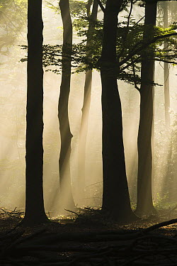 Beech (Fagus sp) forest with rays of sunlight breaking through canopy, Wageningen, Netherlands  -  Ruben Smit/ Buiten-beeld