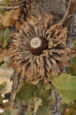 Turkey Oak (Quercus cerris) acorn, Mithymna, Greece  -  Natalia Paklina/ Buiten-beeld