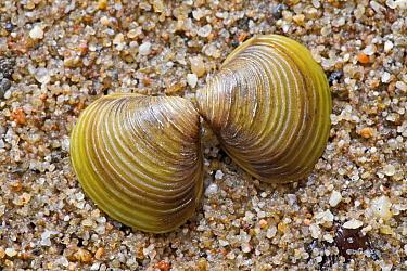 Asian Clam (Corbicula fluminea) washed up on beach, Herwijnen, Netherlands  -  Jelger Herder/ Buiten-beeld