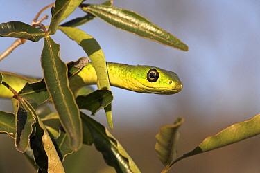 Natal Green Snake (Philothamnus natalensis), iSimangaliso Wetland Park, South Africa  -  Jelger Herder/ Buiten-beeld