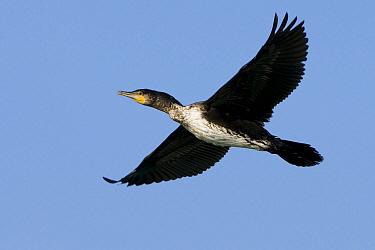 Great Cormorant (Phalacrocorax carbo) juvenile flying, Chardara, Kazakhstan  -  Patrick Palmen/ Buiten-beeld