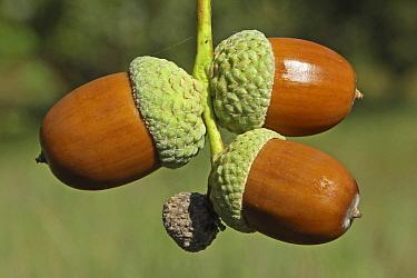 English Oak (Quercus robur) ripe acorns, Wassenaar, Netherlands  -  Gerrit van Ommering/ Buiten-beel