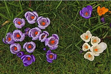 Dutch Crocus (Crocus vernus) purple, white and yellow varieties, Wassenaar, Netherlands  -  Gerrit van Ommering/ Buiten-beel
