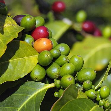 Robusta Coffee (Coffea canephora) berries, Funchal, Portugal  -  Natalia Paklina/ Buiten-beeld