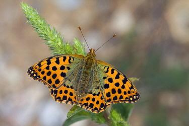Queen Of Spain Fritillary (Issoria lathonia) butterfly, France  -  Klaas van Haeringen/ Buiten-beel