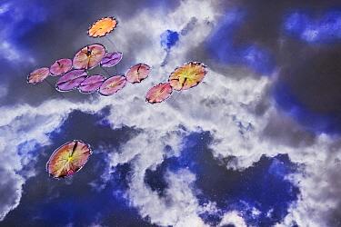 Waterlilies amid reflection of cloudy sky, Staverden, Netherlands  -  Misja Smits/ Buiten-beeld