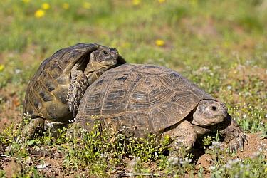 Mediterranean Spur-thighed Tortoise (Testudo graeca) mating pair, Mount hermon, Syria  -  Klaas van Haeringen/ Buiten-beel