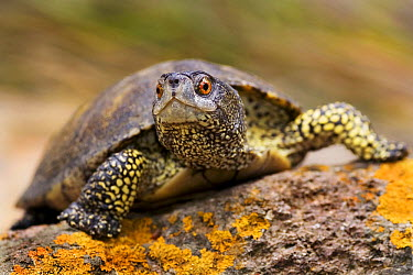 European Pond Turtle (Emys orbicularis), Lesbos, Greece  -  Misja Smits/ Buiten-beeld