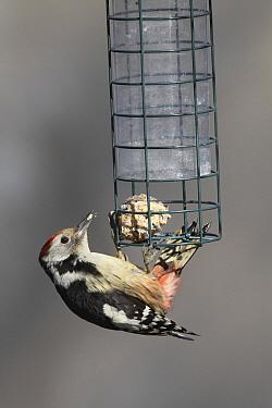 Middle Spotted Woodpecker (Dendrocopos medius) hanging on bird feeder, Barendrecht, Netherlands  -  Chris van Rijswijk/ Buiten-beeld