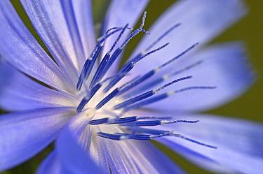 Chicory (Cichorium intybus) flower, Europe  -  Maas van de Ruitenbeek/ Buiten-b