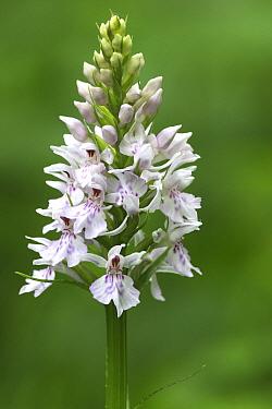 Common Spotted Orchid (Dactylorhiza fuchsii), Vlaanderen, Belgium  -  Wouter Pattyn/ Buiten-beeld