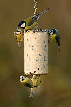 Great Tit (Parus major) and Blue Tit (Cyanistes caeruleus) group on a suet block feeder, Boxmeer, Netherlands  -  Patrick Palmen/ Buiten-beeld