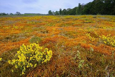 Mosses and flowering broom in old riverbed, Drentsche Aa, Netherlands  -  Peter Eekelder/ Buiten-beeld