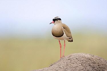 Crowned Lapwing (Vanellus coronatus), Uganda  -  Luc Hoogenstein/ Buiten-beeld