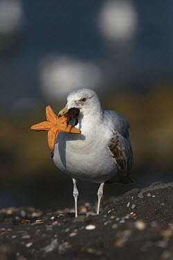 Herring Gull (Larus argentatus) attempting to eat a sea star, Netherlands  -  Marcel Langelaan/ Buiten-beeld