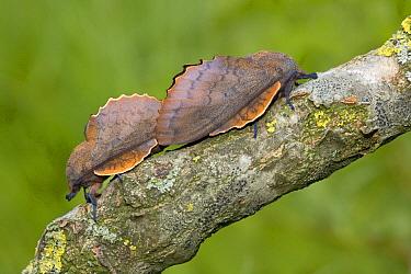 Moth (Gastropacha quercifolia) pair mimic leaves, Netherlands  -  Klaas van Haeringen/ Buiten-beel