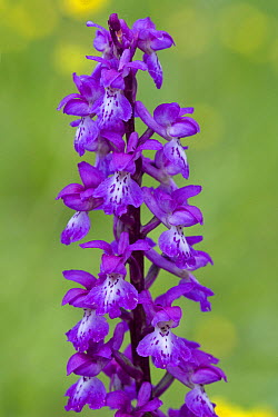 Early Purple Orchid (Orchis mascula), Eifel, Germany  -  Klaas van Haeringen/ Buiten-beel