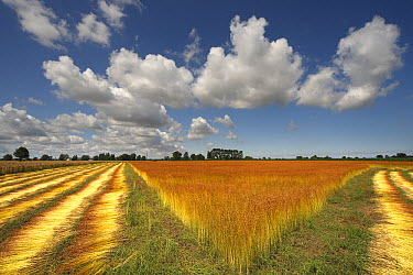 Common Flax (Linum usitatissimum) cultivation, Vlaanderen, Belgium  -  Wouter Pattyn/ Buiten-beeld