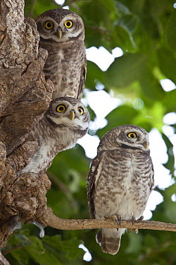 Spotted Owlet (Athene brama) juveniles, Bharatpur, India  -  Wim Smeets/ Buiten-beeld