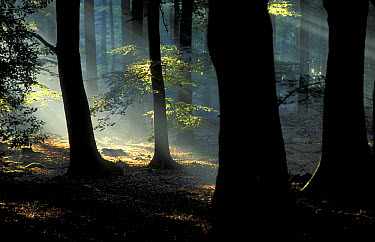 Sun rays through forest, Apeldoorn, Netherlands  -  Ruben Smit/ Buiten-beeld