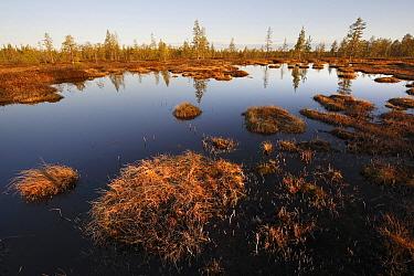 Scotch Pine (Pinus sylvestris) surrounding bog, Scandinavia, Sweden  -  Wouter Pattyn/ Buiten-beeld