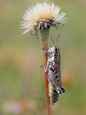 Grasshopper (Podisma pedestris), Val Pelens, France  -  Mark van Veen/ Buiten-beeld