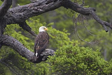 Bald Eagle (Haliaeetus leucocephalus), Tofino, Canada  -  Luc Hoogenstein/ Buiten-beeld