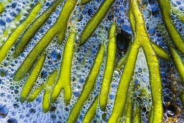 Green Fleece (Codium fragile) algae, Melissant, Netherlands  -  Nico van Kappel/ Buiten-beeld