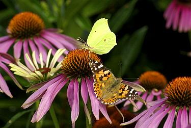 Brimstone (Gonepteryx rhamni) and Painted Lady (Vanessa cardui) butterflies on Purple Coneflower (Echinacea purpurea), Vledderveen, Netherlands  -  Hannie Joziasse/ Buiten-beeld