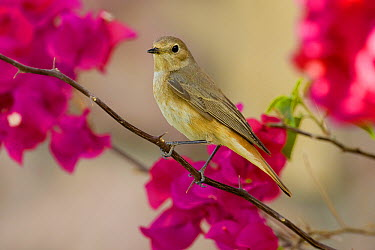 Common Redstart (Phoenicurus phoenicurus) female, Marsa Alam, Egypt  -  Daniele Occhiato/ Buiten-beeld