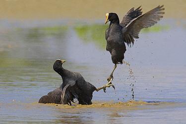 Coot (Fulica atra) pair in territorial fight, Florence, Italy  -  Daniele Occhiato/ Buiten-beeld