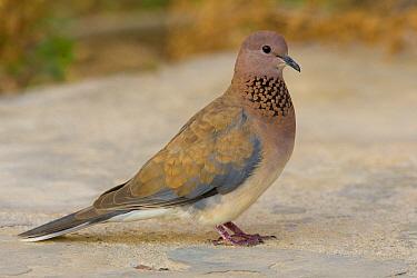 Laughing Dove (Spilopelia senegalensis), Marsa Alam, Egypt  -  Daniele Occhiato/ Buiten-beeld