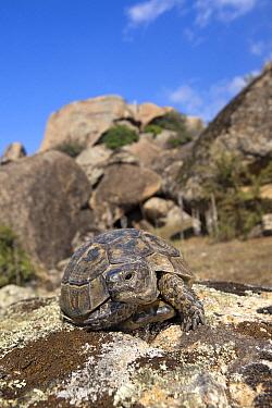 Mediterranean Spur-thighed Tortoise (Testudo graeca), Kapikiri, Turkey  -  Jelger Herder/ Buiten-beeld