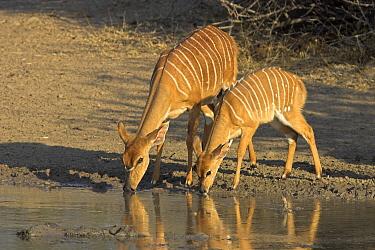 Nyala (Tragelaphus angasii) pair drinking, Hluhluwe-iMfolozi Park, South Africa  -  Jelger Herder/ Buiten-beeld