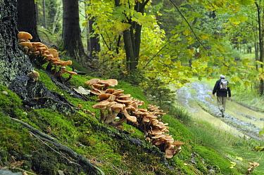 Honey Fungus (Armillaria mellea) fruiting near man walking on trail, Sauerland, Germany  -  Natalia Paklina/ Buiten-beeld