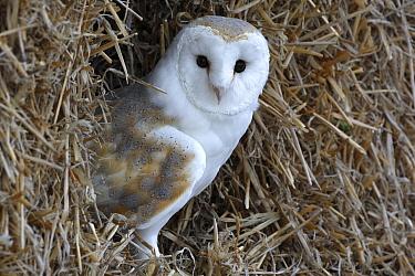 Barn Owl (Tyto alba) on haystack in a barn, Europe  -  Wouter Pattyn/ Buiten-beeld