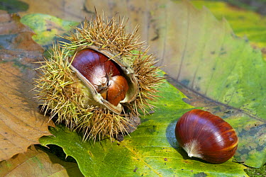 European Chestnut (Castanea sativa) seeds and fruit on leaves in forest understory, Plasmolen, Netherlands  -  Jelger Herder/ Buiten-beeld