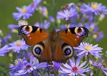 Peacock Butterfly (Inachis io) feeding on nectar, Rijssen, Netherlands  -  Arjan Troost/ Buiten-beeld