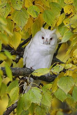 Long-eared Owl (Asio otus) albino, Netherlands  -  Chris van Rijswijk/ Buiten-beeld