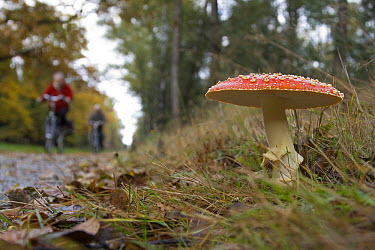 Fly Agaric (Amanita muscaria) fruiting along bike path, Holten, Netherlands  -  Arjan Troost/ Buiten-beeld