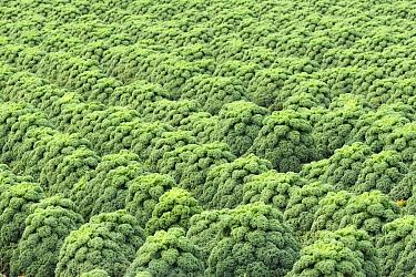 Kale (Brassica oleracea) field, Burgervlotbrug, Netherlands  -  Wendy Kreeftenberg/ Buiten-beeld