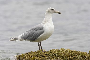 Glaucous-winged Gull (Larus glaucescens), Tofino, Canada  -  Luc Hoogenstein/ Buiten-beeld