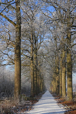 Trail through lane of leafless trees, Amerongen, Utrecht, Netherlands  -  Mark van Veen/ Buiten-beeld
