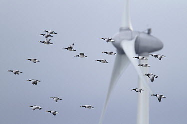 Barnacle Goose (Branta leucopsis) flock flying past wind turbine, Wadden Sea, Netherlands  -  Mark Schuurman/ Buiten-beeld