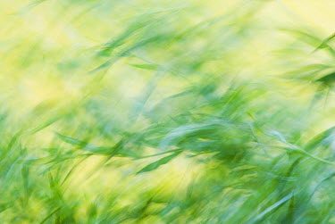 Common Reed (Phragmites australis) abstract, Zuidland, Netherlands  -  Nico van Kappel/ Buiten-beeld
