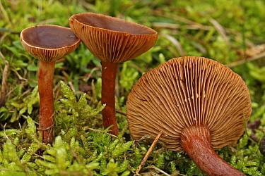 Rufous Milk Cap (Lactarius rufus) mushrooms in mossy field, Wassenaar, Netherlands  -  Gerrit van Ommering/ Buiten-beel