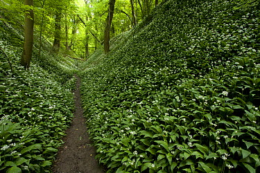 Wild Garlic (Allium ursinum) growing in understory with path, Gronsveld, Netherlands  -  Bob Luijks/ Buiten-beeld