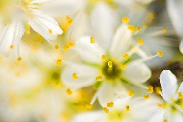 Blackthorn (Prunus spinosa) flowers, Oostvoorne, Netherlands  -  Nico van Kappel/ Buiten-beeld